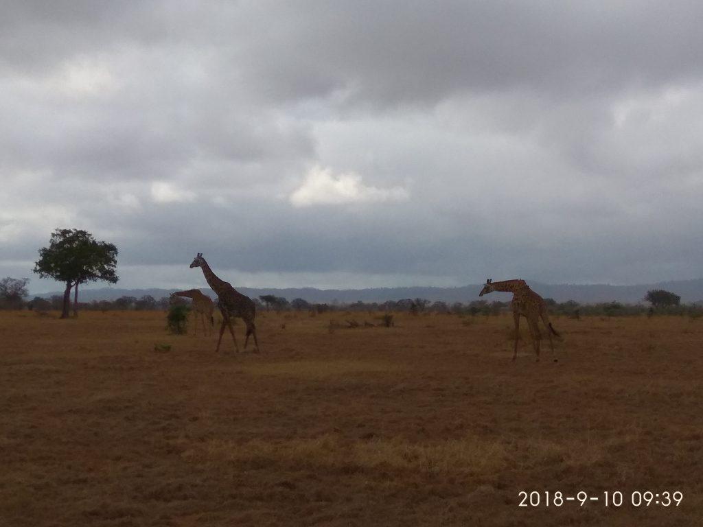 Жирафы в парке Микуми.