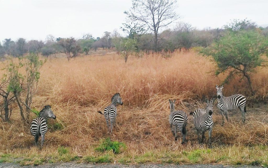 Зебры в парке Микуми.