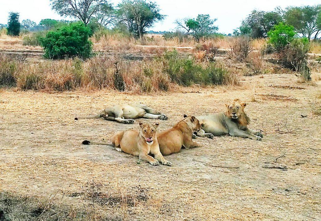 Львы в парке Микуми.