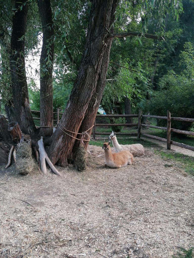 Прогулки с ламой